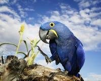 Macaw del giacinto Immagini Stock Libere da Diritti