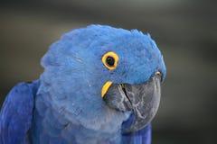 Macaw del giacinto Fotografie Stock Libere da Diritti
