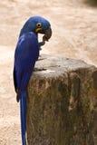 Macaw del giacinto Fotografia Stock Libera da Diritti