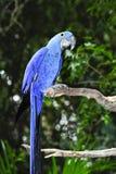 Macaw del jacinto Foto de archivo libre de regalías