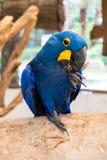 Macaw del jacinto (Anodorhynchus Hyacinthinus) o macaw de Hyacinthine Imagen de archivo libre de regalías