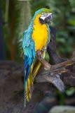 Macaw del loro Fotos de archivo