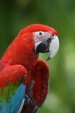 Macaw del pappagallo Fotografie Stock Libere da Diritti