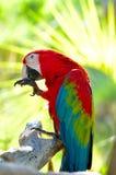 Macaw, der auf Zweig sitzt Lizenzfreie Stockfotos