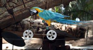 Macaw, der Fahrrad fährt Lizenzfreie Stockbilder