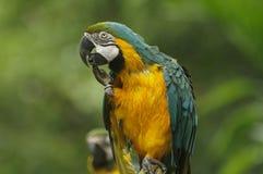 Macaw divertido Imagen de archivo