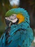 Macaw do azul e do ouro Fotografia de Stock Royalty Free