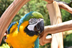 Macaw do azul e do ouro Fotografia de Stock Royalty Free