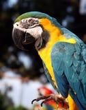 Macaw do azul e do ouro com pé acima Foto de Stock Royalty Free