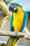Macaw do azul e do ouro Fotografia de Stock