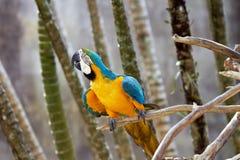 macaw do Azul-e-ouro no cerco da natureza Imagens de Stock