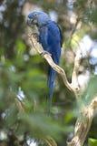 Macaw do Hyacinth que joga na árvore, pantanal, Brasil fotos de stock royalty free