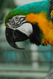Macaw do Indigo (leari de Anodorhynchus) Foto de Stock Royalty Free