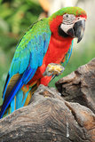 Macaw do papagaio [escarlate do Macaw] Imagem de Stock