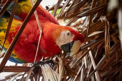 Macaw leaning on palm royalty free stock image