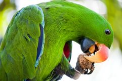 Macaw is eating. Green Macaw from indonesia is eating his meal Royalty Free Stock Images