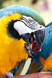 Macaw Eating Apple Royalty Free Stock Photos