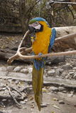 Macaw eating. On a branch Royalty Free Stock Photos