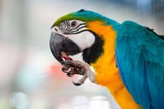 Macaw eating fruit Stock Photos