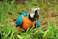 Macaw eating the glass Stock Photos