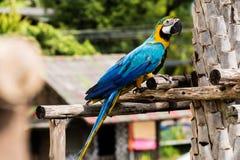 Macaw en la madera Imágenes de archivo libres de regalías