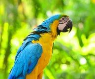 Macaw en naturaleza Foto de archivo libre de regalías