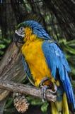 Macaw en naturaleza fotografía de archivo libre de regalías