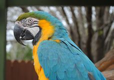Close up of Macaw with open beak royalty free stock photos