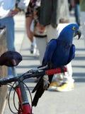 macaw för 6 indigoblått Arkivfoto