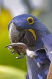 macaw för araararaunablue Fotografering för Bildbyråer