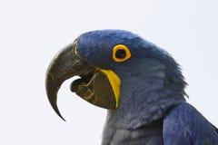 macaw för araararaunablue Royaltyfria Foton