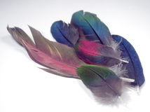 Macaw Feathers. A handful of brightly colored Macaw feathers Stock Photography