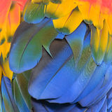 Macaw feathers. Scarlet Macaw feathers background texture Stock Image