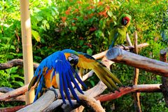 Macaw flapping wings Royalty Free Stock Image