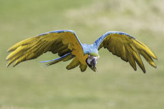 Macaw flying with eyes closed. A blue and gold - yellow - macaw (Ara ararauna) here flying with wings outstretched and eyes closed royalty free stock photos