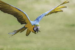 Macaw flying with wings outsretched. Blue and yellow (gold) macaw (Ara ararauna) flying with wings outstretched Stock Image