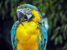 Macaw giving you the eye. Beautiful bird of the jungles of Thailand Stock Photo