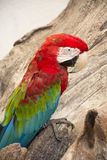 Macaw 06. The Green-winged macaw Ara chloroptera Royalty Free Stock Photography