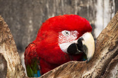 Macaw 07. The Green-winged macaw Ara chloroptera Stock Photography