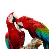 Macaw Greenwinged Fotografía de archivo libre de regalías