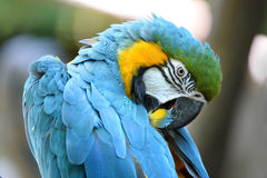 Macaw Grooming Feathers Royalty Free Stock Images