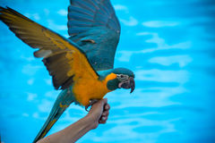Macaw on the hand Royalty Free Stock Image