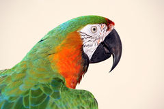 Macaw head shot. Green and gold macaw head shot stock images