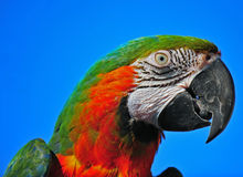 Macaw head shot Stock Photography