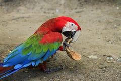 Macaw hermoso del escarlata Fotos de archivo libres de regalías