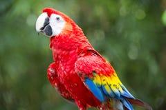 Macaw hybride Photos libres de droits