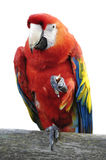 Macaw isolated. Isolated macaw on perch eating Stock Photo