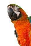 Macaw isolated on white background Stock Photo