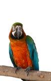 Macaw isolated on white background Royalty Free Stock Image