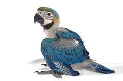 Macaw joven del bebé Foto de archivo